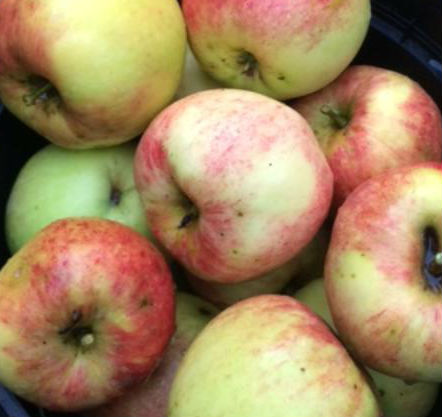 Apple (James Grieve)