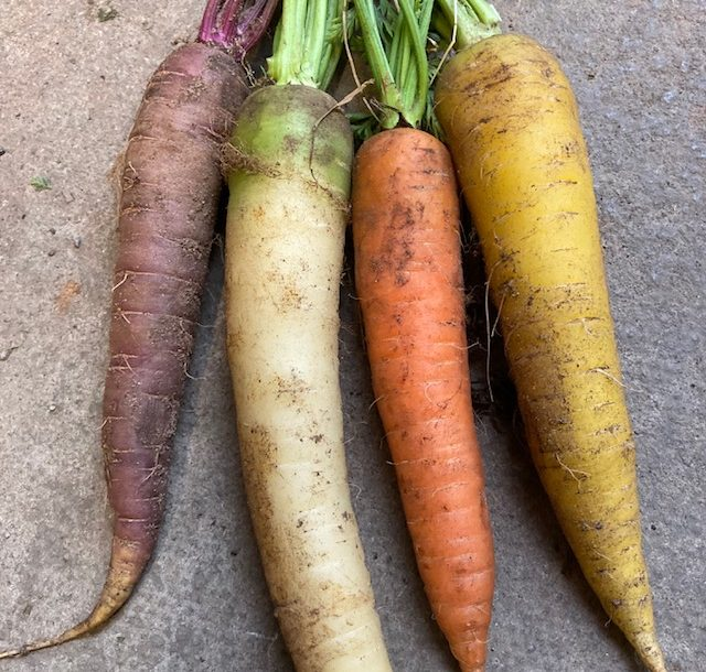 Carrots (mixed coloured)