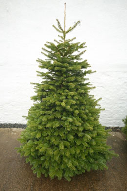 Christmas Tree (Nordmann Fir)